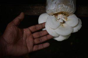 Jamur tiram hasil budidayanya di Desa Cot Meureuboe, Kecamatan Kuta Makmur, Aceh Utara. (Foto/Suryadi)